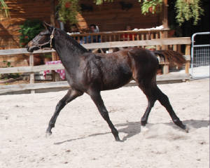 2009-Foals/Atti-pushing-trot.jpg